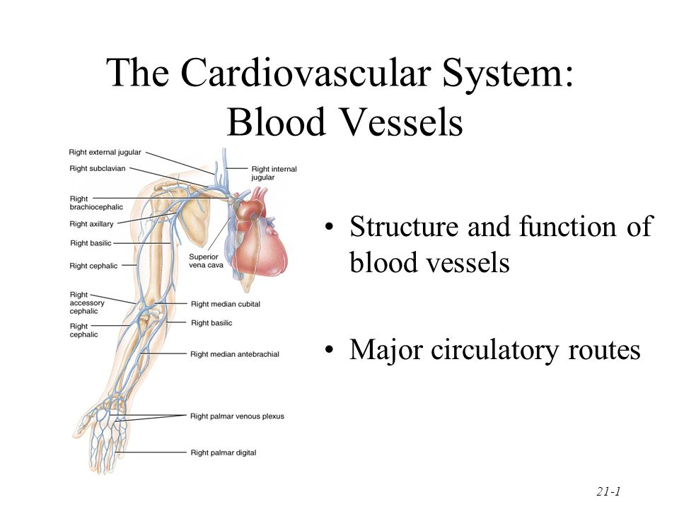 The Cardiovascular System Blood Vessels Ppt Video Online Download