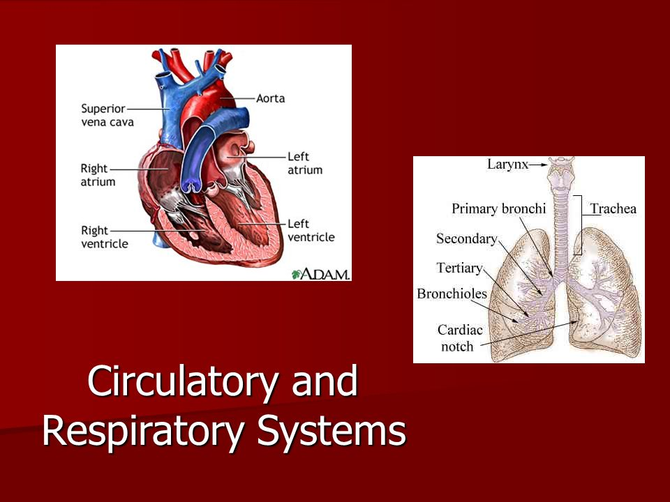 Circulatory And Respiratory Systems Ppt Video Online Download