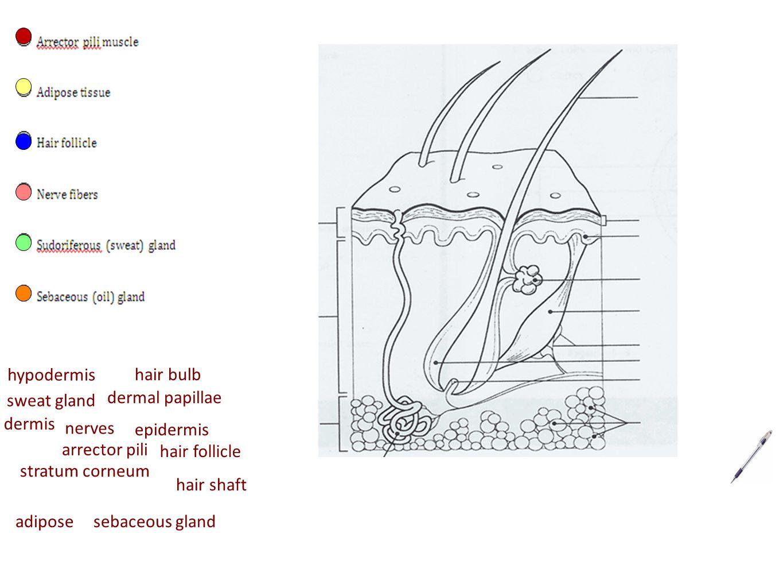 chapter 4 skin  u0026 body membranes