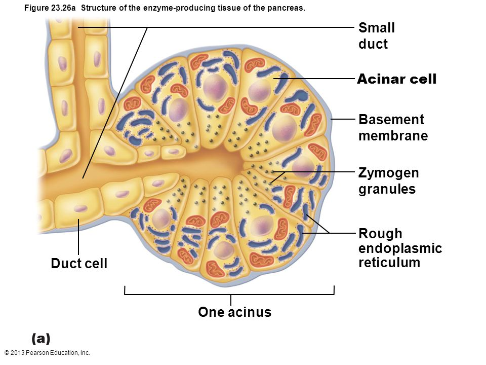 23 the digestive system: part c. - ppt video online download cell diagram labeled microvilli pepsin duct cell diagram #14