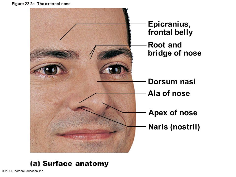 Nasal Anatomy External