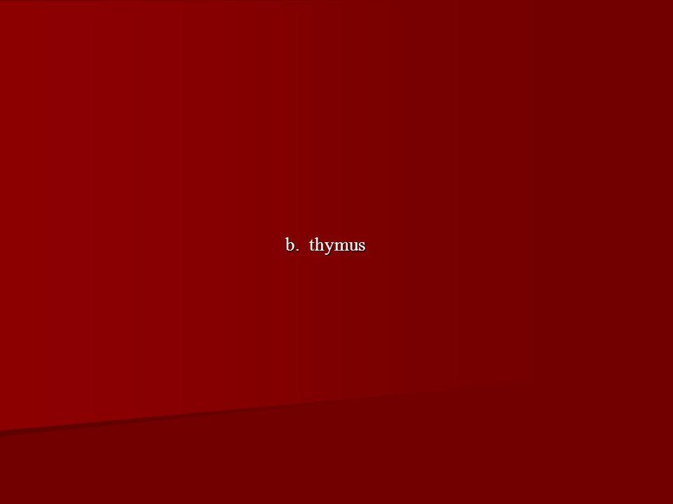 b. thymus