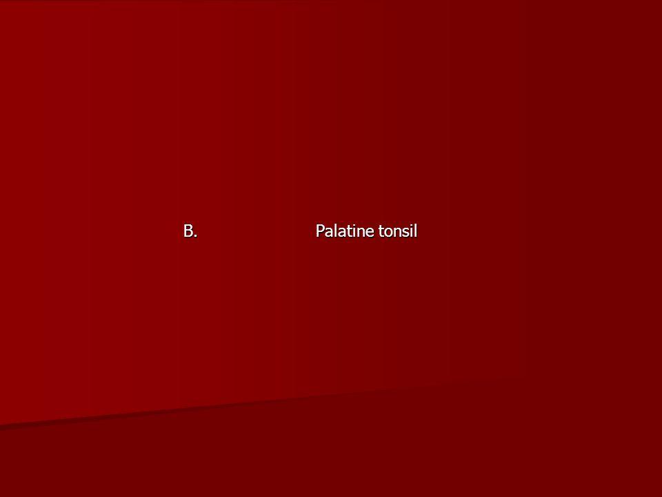 B. Palatine tonsil