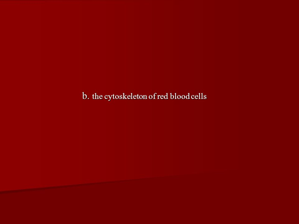 b. the cytoskeleton of red blood cells