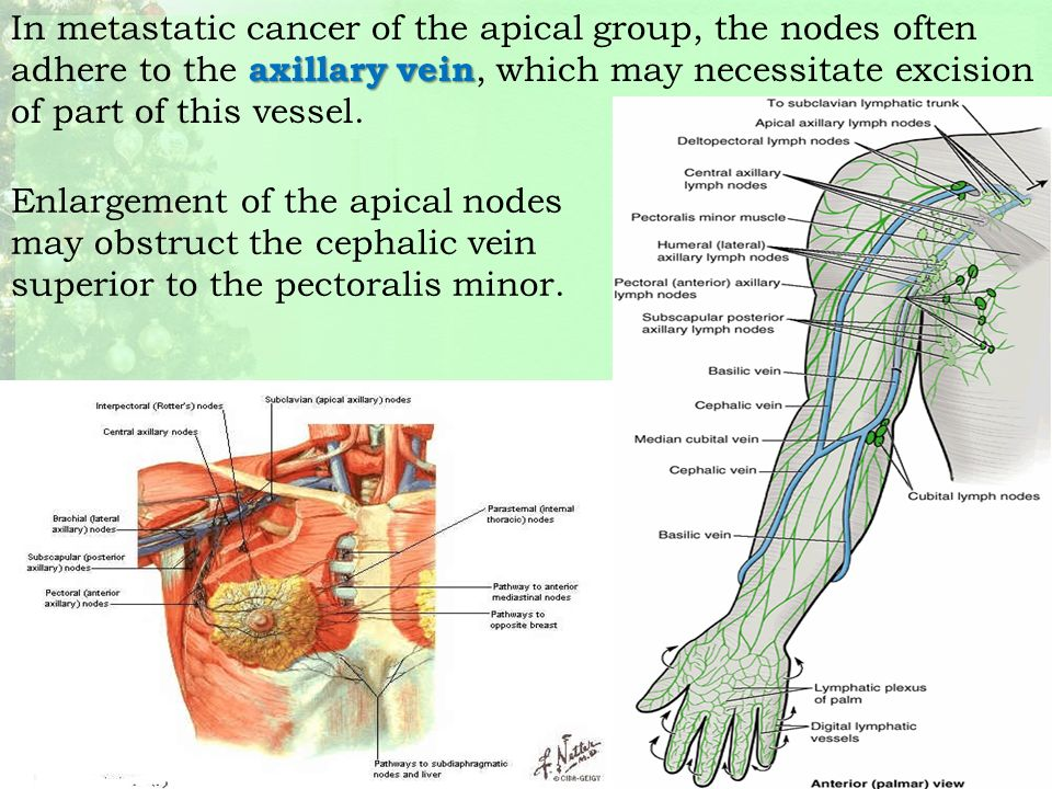 axilla & brachial plexus - ppt download, Cephalic Vein