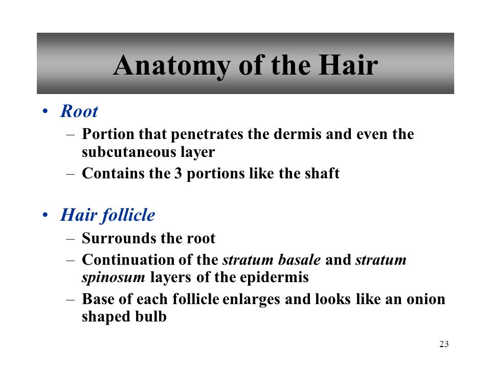 Hair follicles penetrates the what