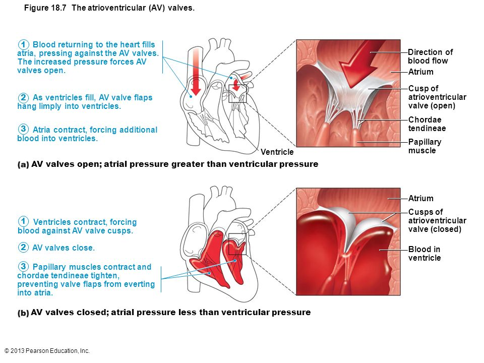 18 The Cardiovascular System: The Heart. - ppt download
