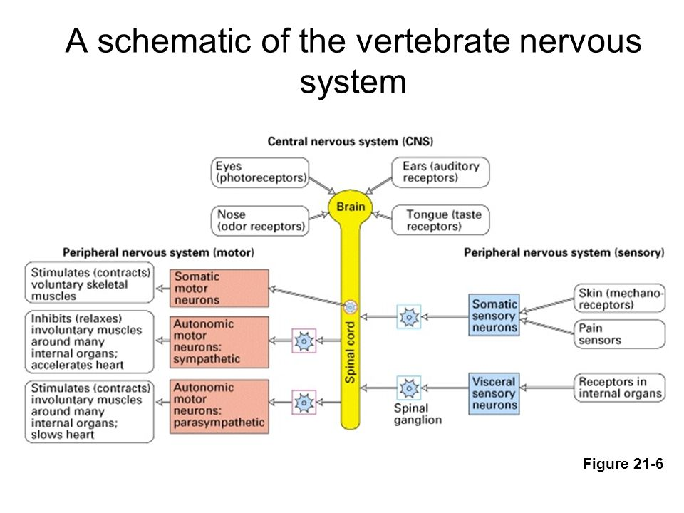 The nervous system neural tissue ppt video online download a schematic of the vertebrate nervous system ccuart Gallery
