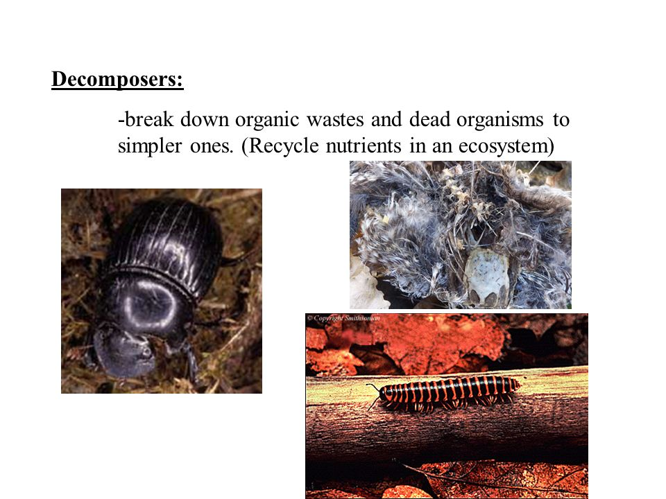 Decomposers: -break down organic wastes and dead organisms to simpler ones.