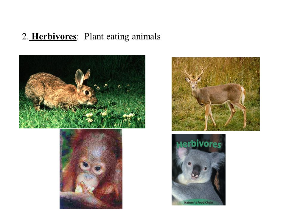 2. Herbivores: Plant eating animals