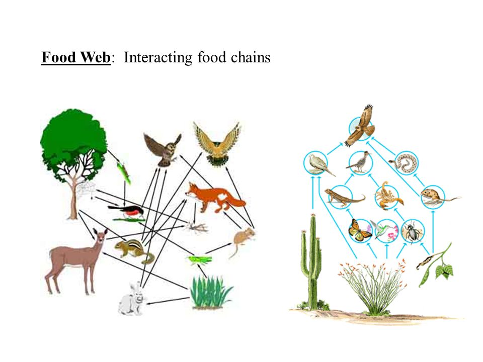 Food Web: Interacting food chains
