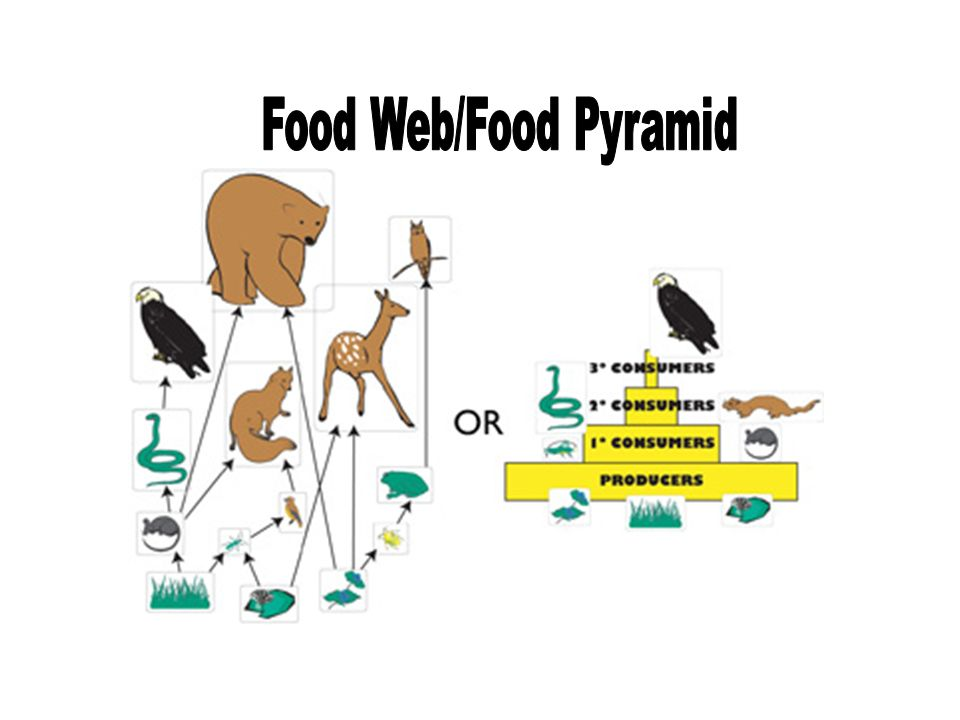 Food Web/Food Pyramid
