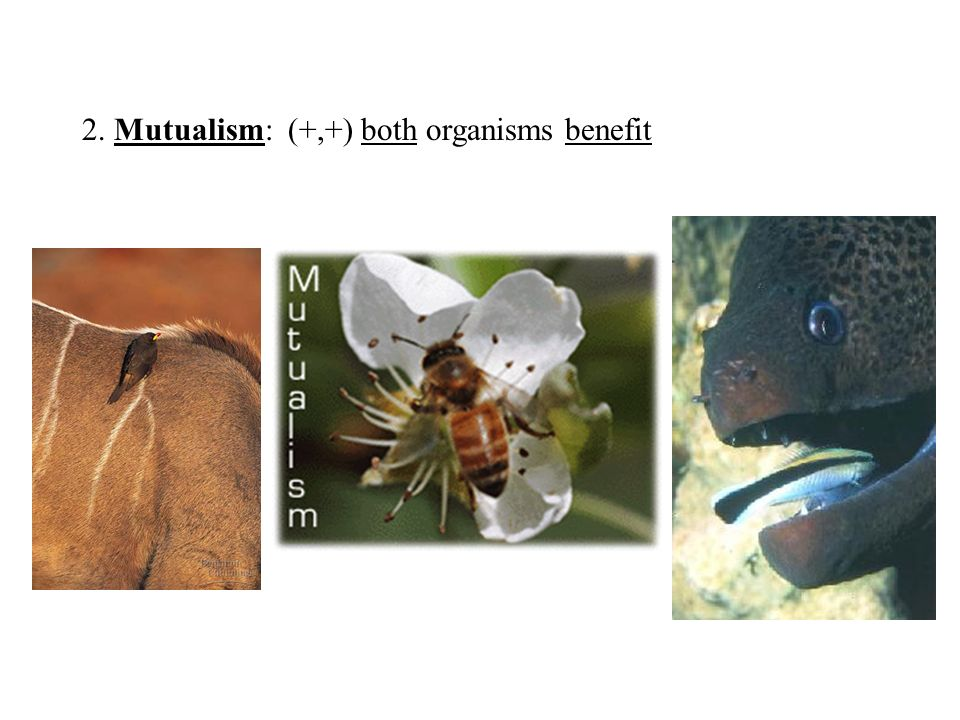 2. Mutualism: (+,+) both organisms benefit
