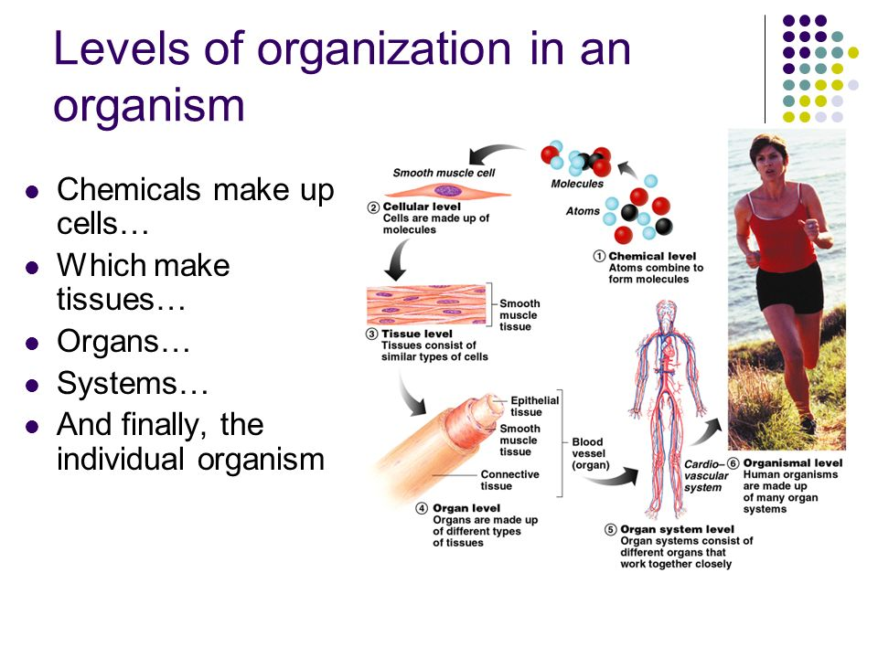6 levels of organization Study flashcards on anatomy & physiology - ch 1 levels of organization / body systems / life processes at cramcom quickly.