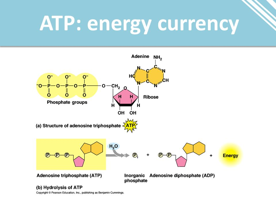 ATP: energy currency