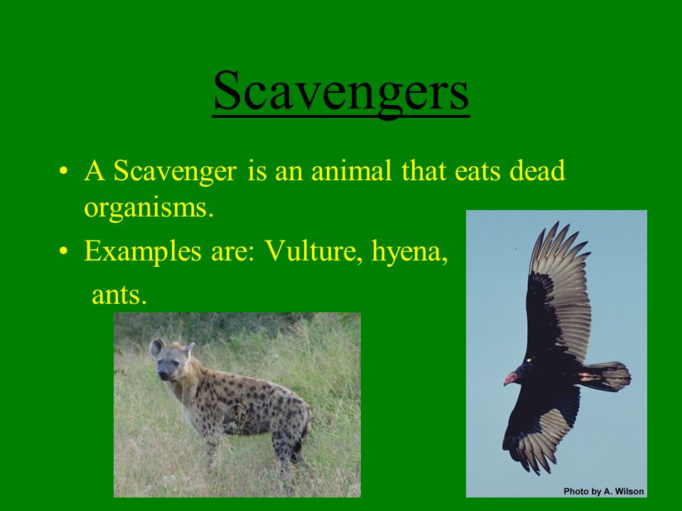 2020 Other Images Examples Of Scavengers Animals