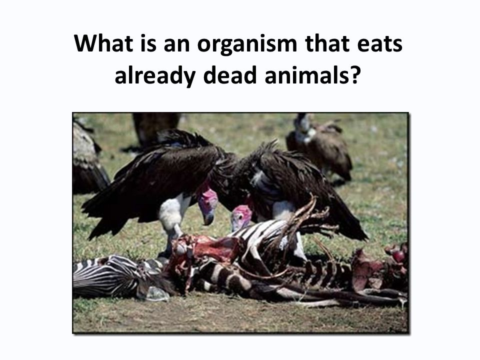 What is an organism that eats already dead animals