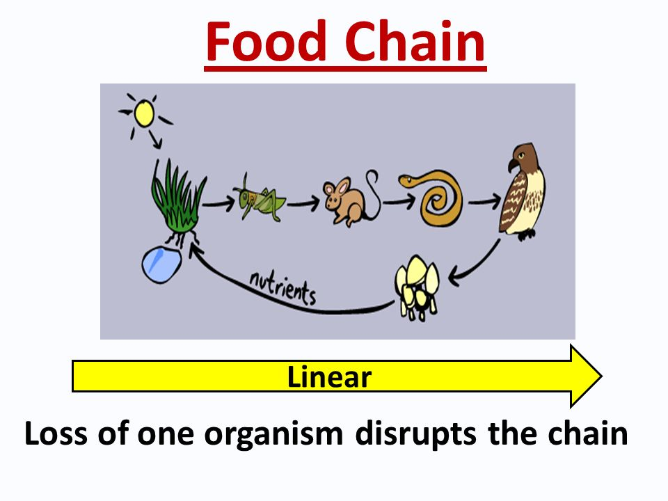 Food Chain Linear Loss of one organism disrupts the chain