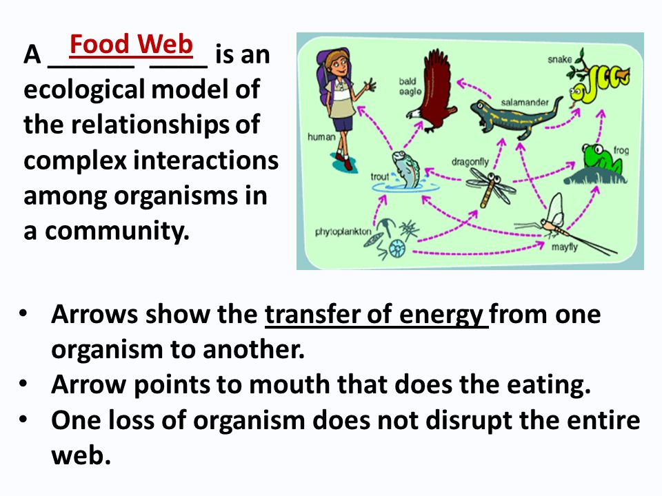 Food Web A ______ ____ is an ecological model of the relationships of complex interactions among organisms in a community.