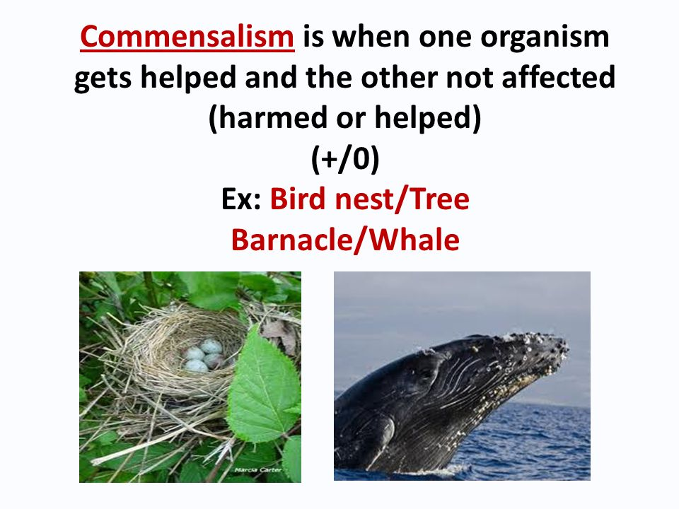 Commensalism is when one organism gets helped and the other not affected (harmed or helped)