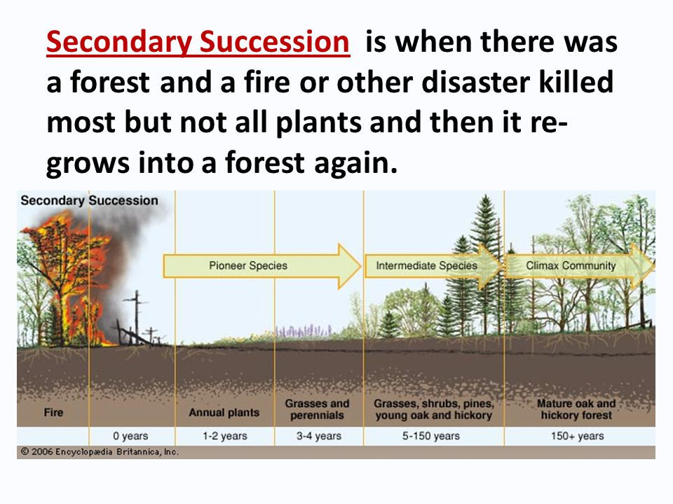 Secondary Succession is when there was a forest and a fire or other disaster killed most but not all plants and then it re-grows into a forest again.