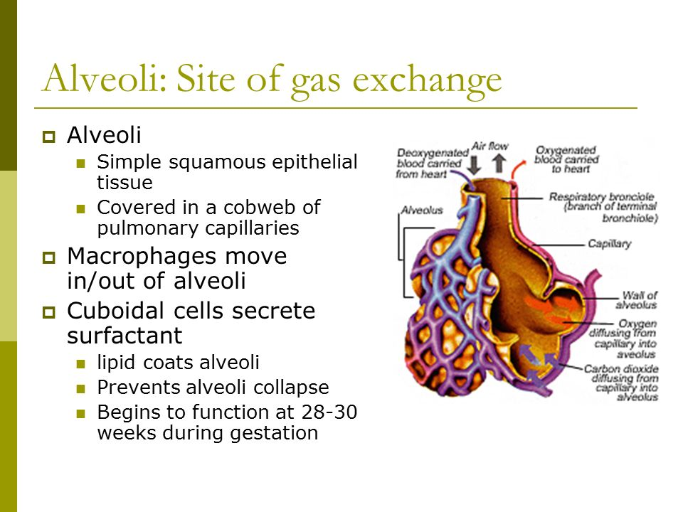 Alveoli: Site of gas exchange