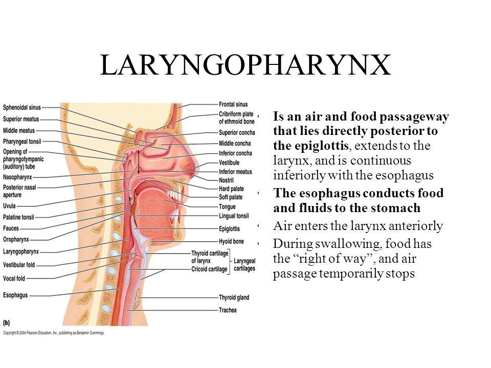 Laryngopharynx Anatomy Related Keywords & Suggestions ...