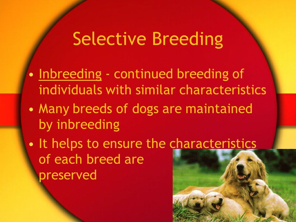 Selective Breeding Inbreeding - continued breeding of individuals with similar characteristics. Many breeds of dogs are maintained by inbreeding.