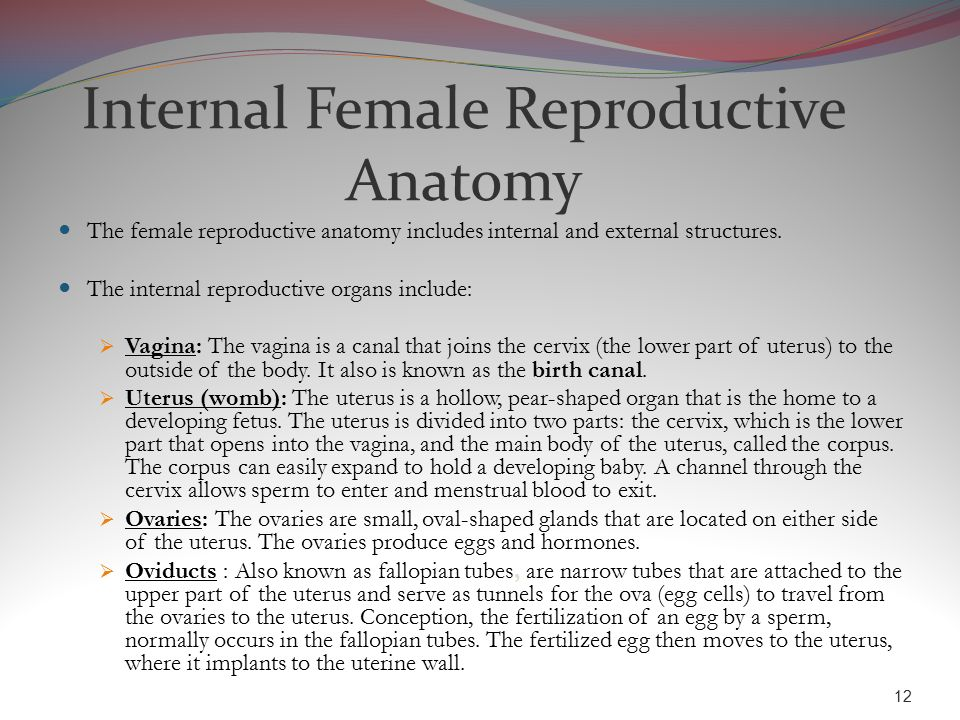 Internal female reproductive anatomy