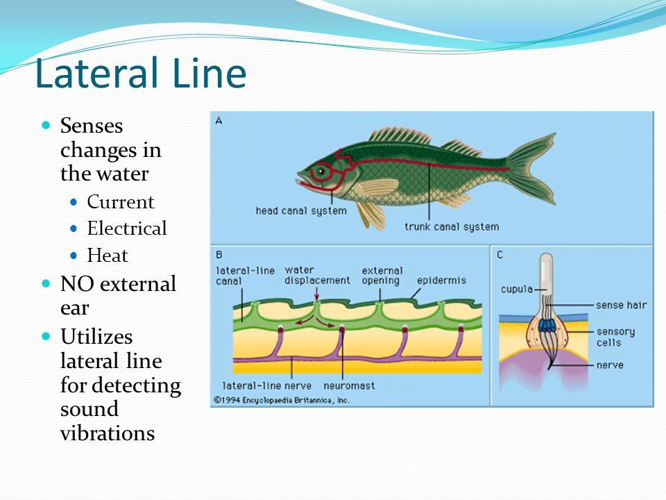 Lateral Line Senses changes in the water NO external ear