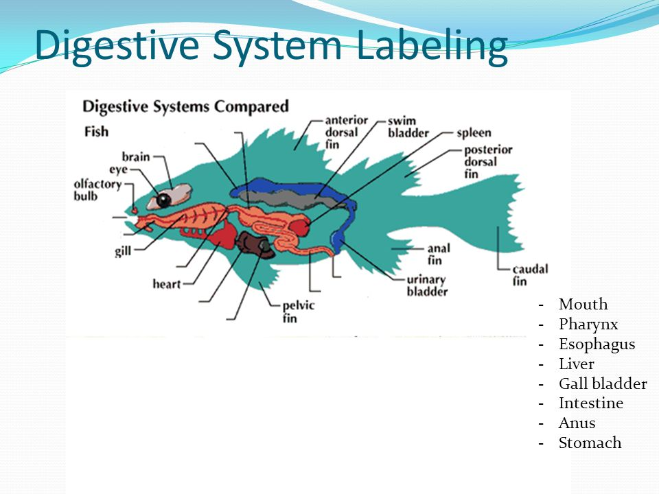 Digestive System Labeling