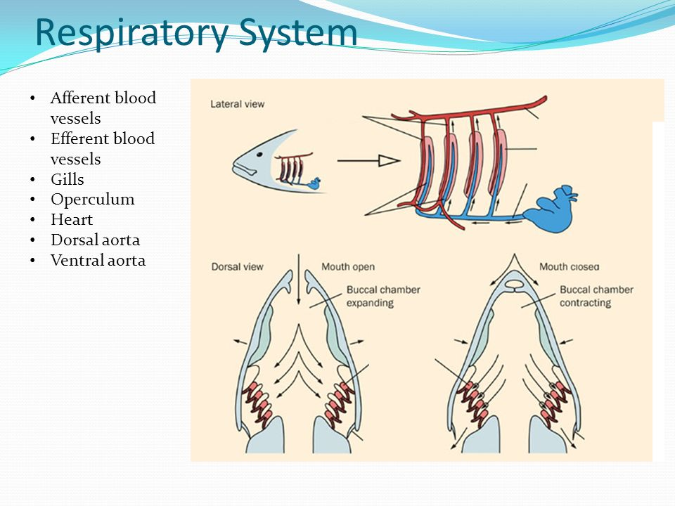 Fish ppt video online download 22 respiratory system ccuart Images