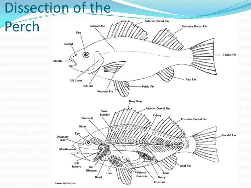 Similiar Perch Circulatory System Anatomy Keywords