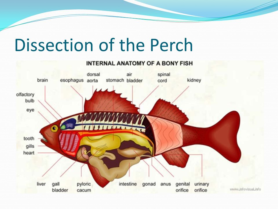 Perch internal anatomy - digitalspace.info