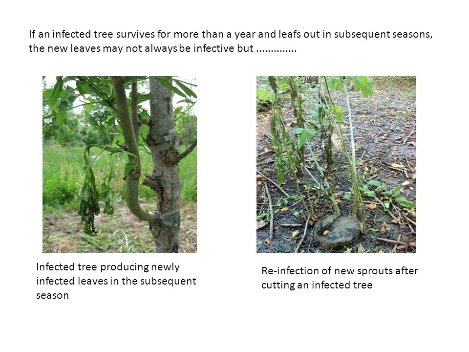 If an infected tree survives for more than a year and leafs out in subsequent seasons, the new leaves may not always be infective but ..............