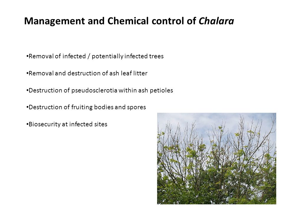 Management and Chemical control of Chalara