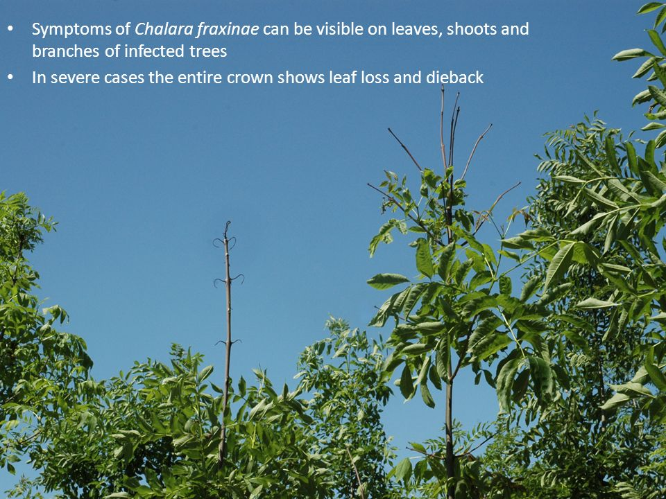 Symptoms of Chalara fraxinae can be visible on leaves, shoots and branches of infected trees