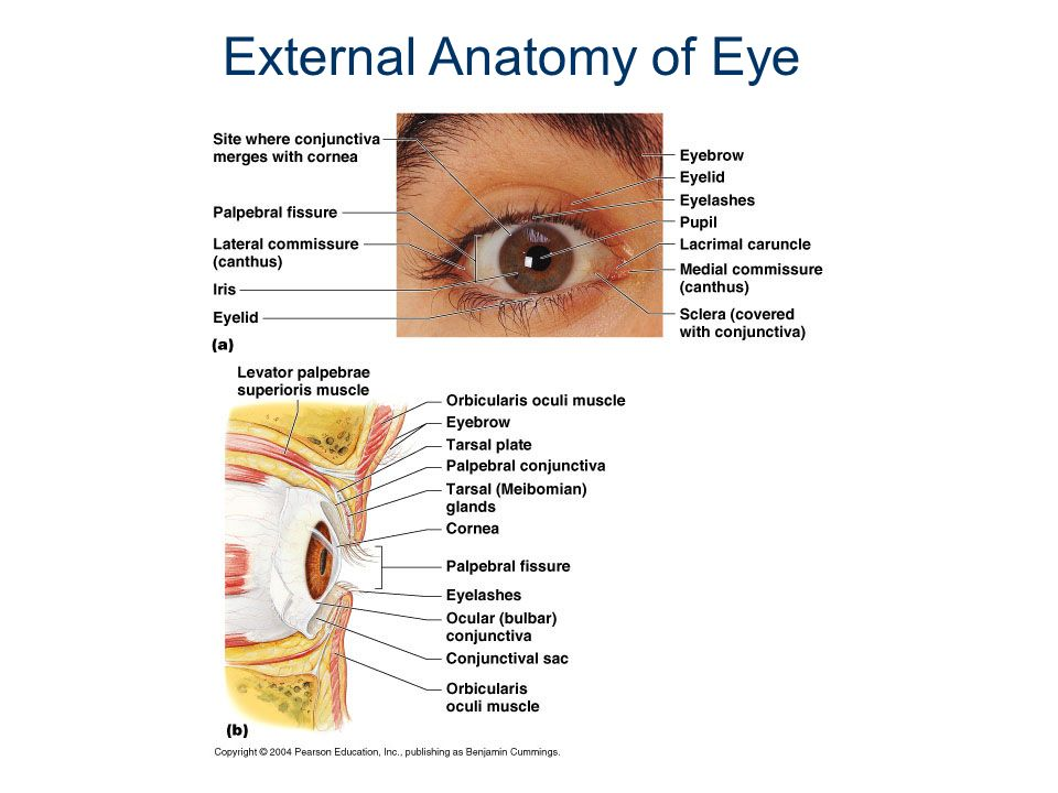 Eye external anatomy
