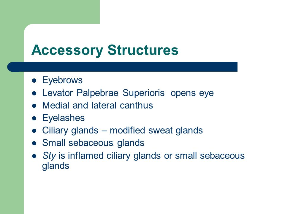 Accessory Structures Eyebrows Levator Palpebrae Superioris opens eye