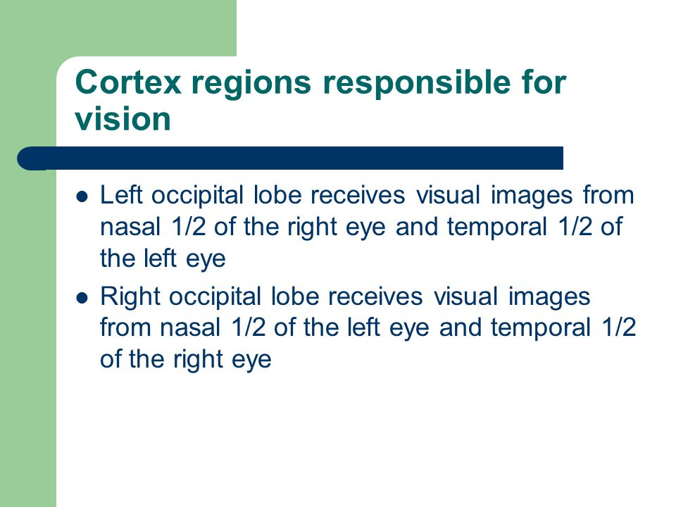 Cortex regions responsible for vision