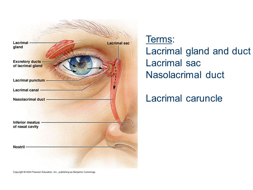 Terms: Lacrimal gland and duct Lacrimal sac Nasolacrimal duct Lacrimal caruncle