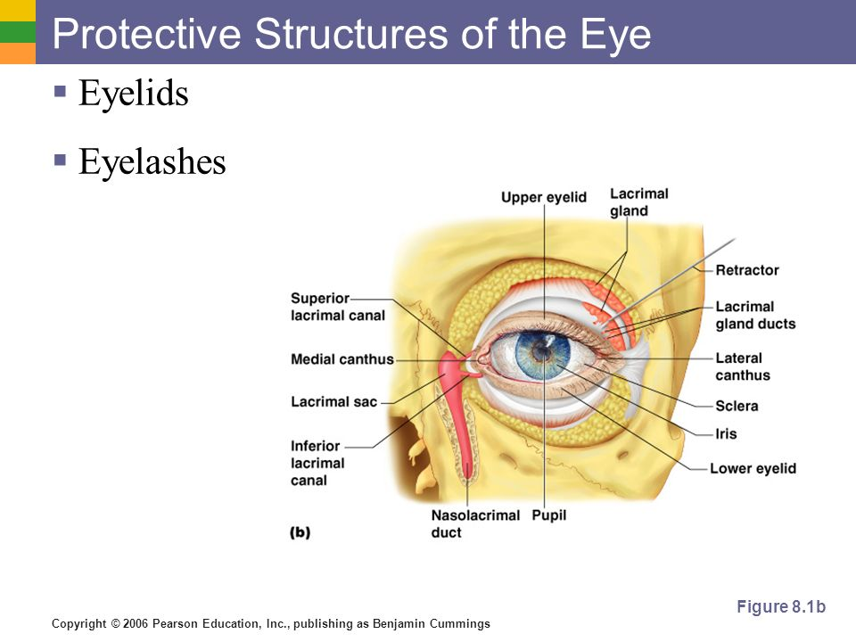 Protective Structures of the Eye