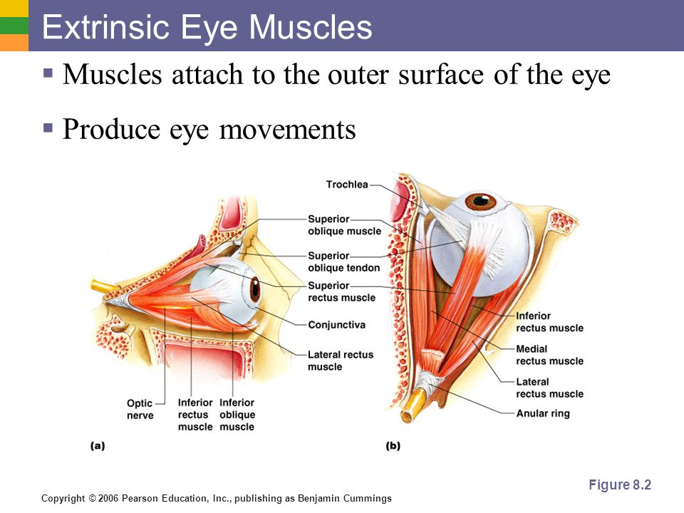 Extrinsic Eye Muscles Muscles attach to the outer surface of the eye