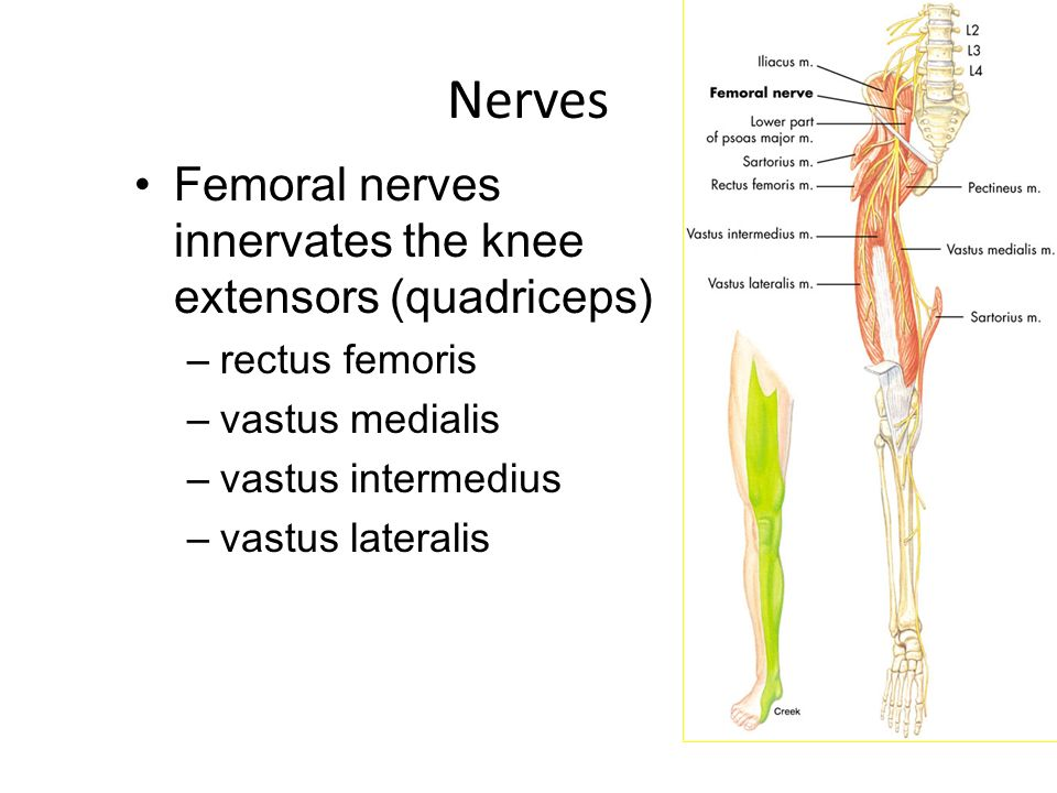 femoral nerve wheeless – citybeauty, Muscles