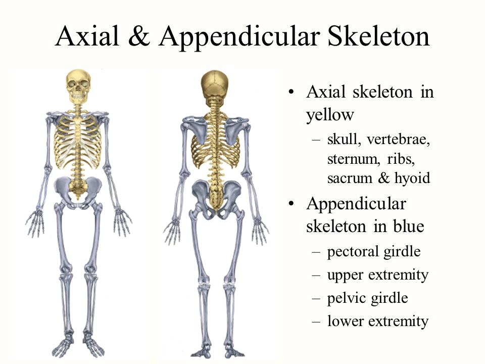 lab report appendicular skeleton Appendicular skeleton (126) lab 3 pectoral girdle (4) report this download powerpoint slideshow about 'unit 2: skeletal system lab 2: axial skeleton'.