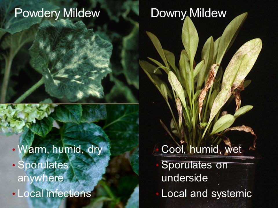 Scouting for Plant Diseases - ppt download