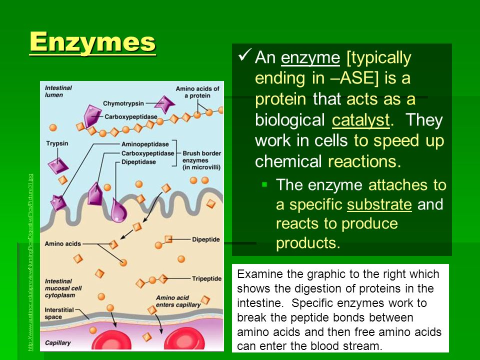 Enzymes An enzyme [typically ending in –ASE] is a protein that acts as a biological catalyst. They work in cells to speed up chemical reactions.