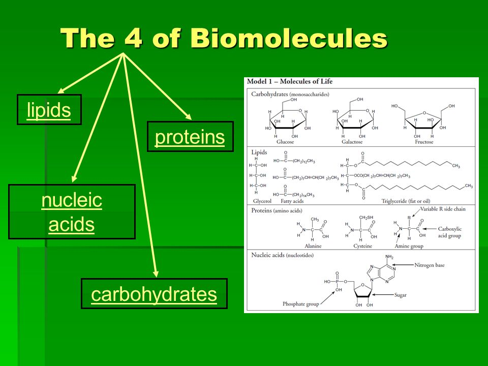 The 4 of Biomolecules lipids proteins nucleic acids carbohydrates