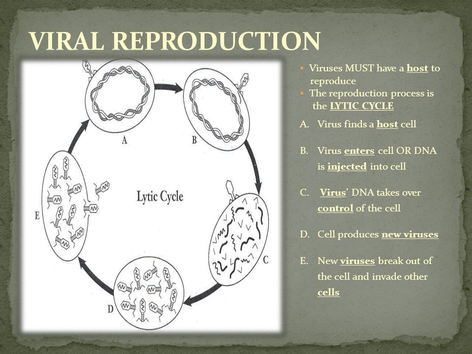 VIRAL REPRODUCTION Viruses MUST have a host to reproduce