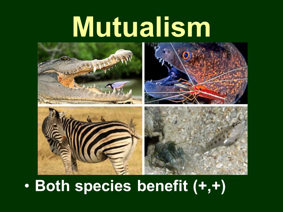 Mutualism Both species benefit (+,+)